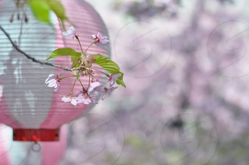 white and pink lantern and flowers photo