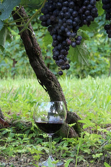red wine grapevine vineyard glass of wine photo