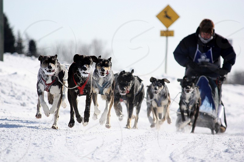 Dogs  dog sled  dog sled team northern manitoba  canada  mush  mushers photo