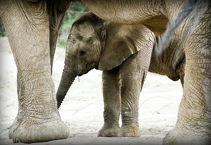 gray elephant  photo