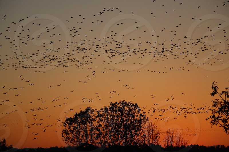 silhouette of flock of birds during sunset photo