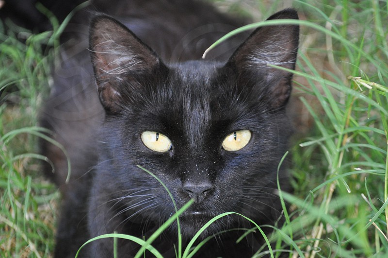 Black cat yellow eyes laying in green grass photo