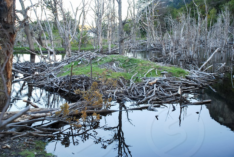 eaver burrow in southern Argentina made in the lakes of the Patagonian tundra in the humid forests made of many sticks and mud. Tierra del Fuego photo