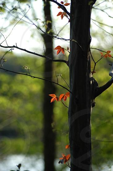 Tree. New leaves.  photo