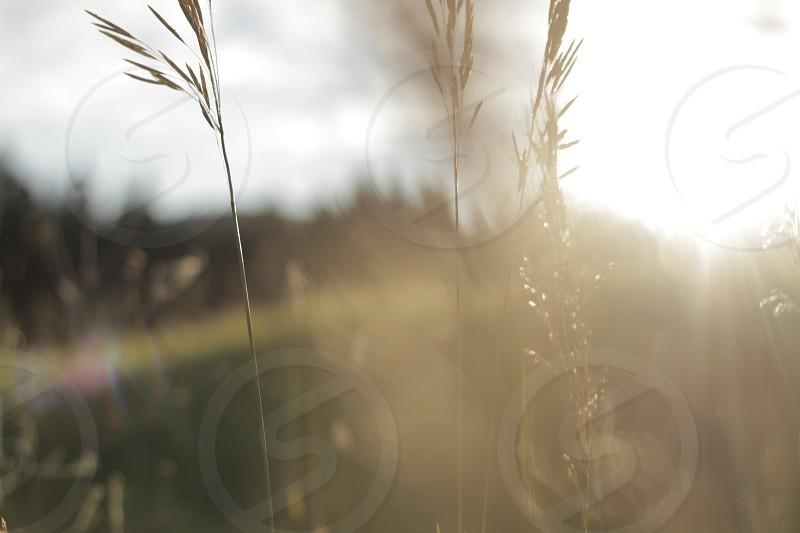 stalk of grain photo