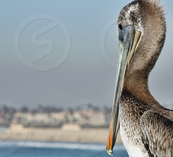 A large gray pelican looks over the ocean and beach. photo