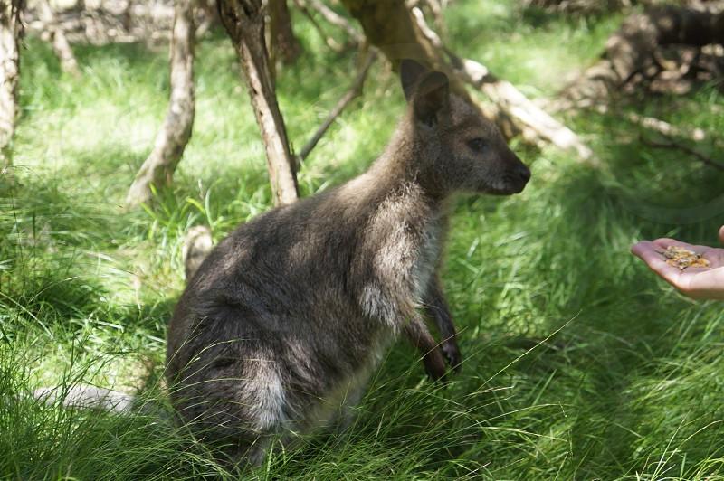 Feeding the kangaroos in Australia photo