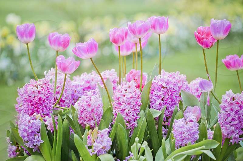 Hyacinths and tulips  photo