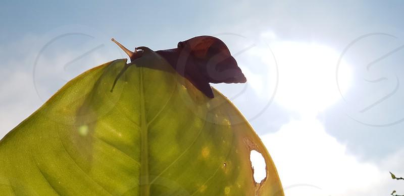 Traveler snail photo