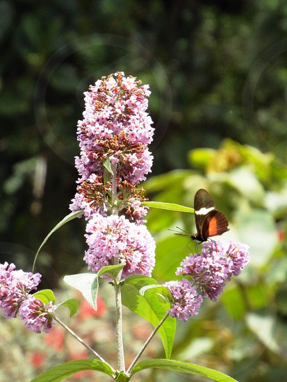 Butterfly brown with orange and white on pink bloom blurred green foliage background. photo