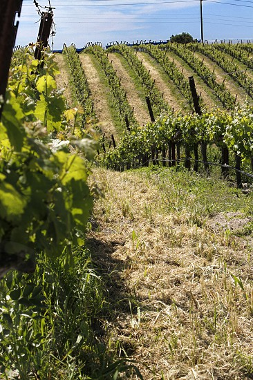 A vineyard in Napa Valley. photo