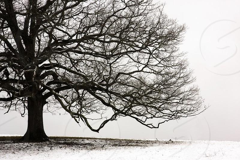 Snow Tree photo