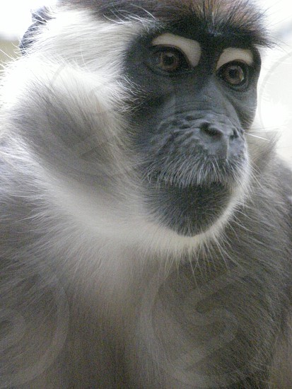 Monkey portrait photo