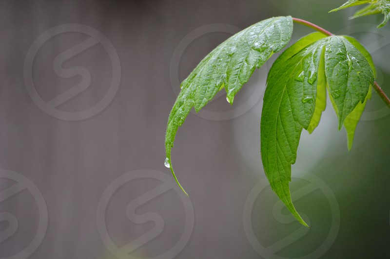 Maypole leave arching in a light summer rain. Tree bark background photo