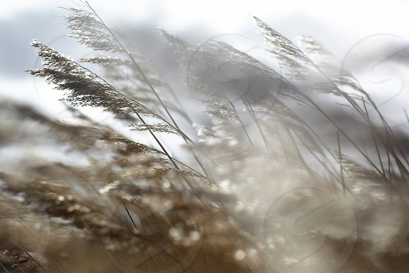 Close up of reeds in the dunes flowing and waving in the wind photo