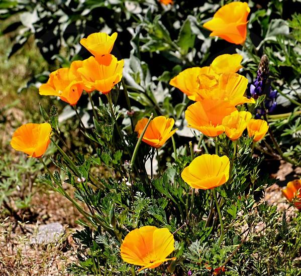 Wild golden California poppies grow wild in the spring photo