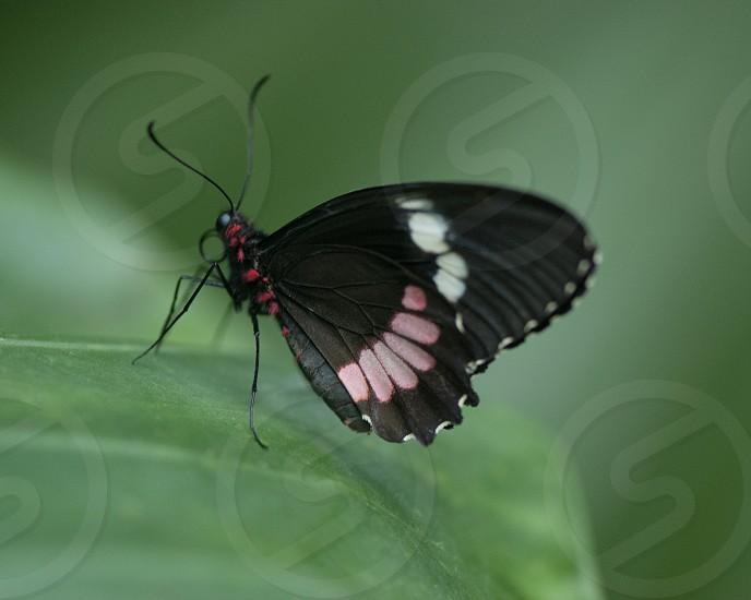 Pink Cattleheart Butterfly photo