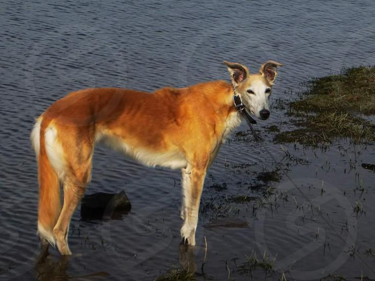 dog park lake greyhound saluki ginger orange water pond photo