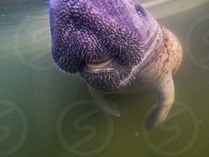 A manatee couldn't help but say hello to my GoPro Hero 3+ photo