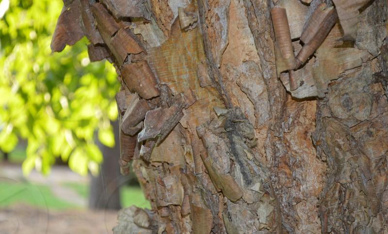 close up of peeling tree bark photo