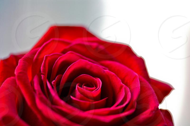 red rose in macro photography photo