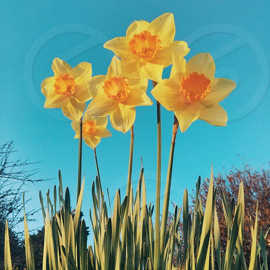 Daffodils in full bloom on a beautiful Spring day. Taken in Exmouth Devon UK. photo