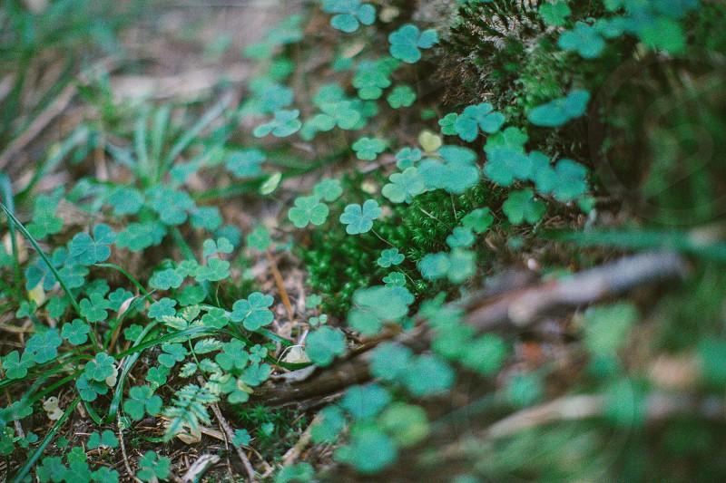 Green clovers nature Switzerland  photo