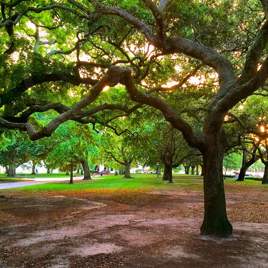 Old tree in park in Historic Downtown Charleston South Carolina during the summer. photo