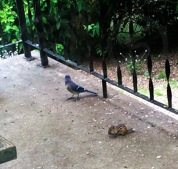 Chipmunkbluejaybird photo