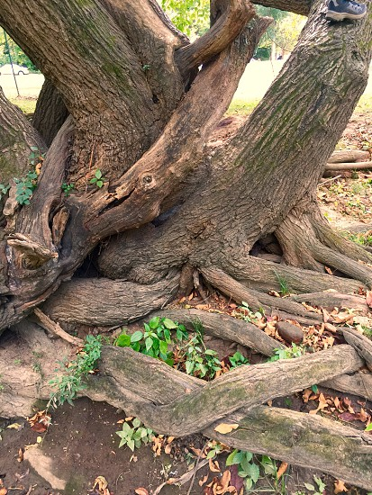 brown tree trunk and roots photo