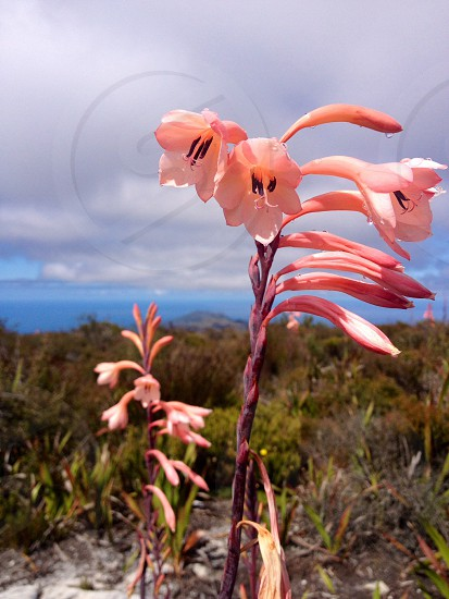 Pink flowers from Table Top Mountain :) photo