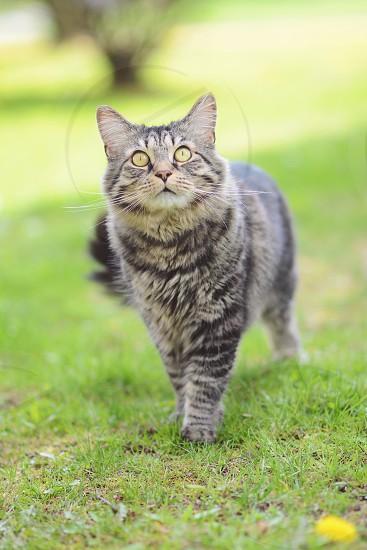 gray and white tabby cat photo