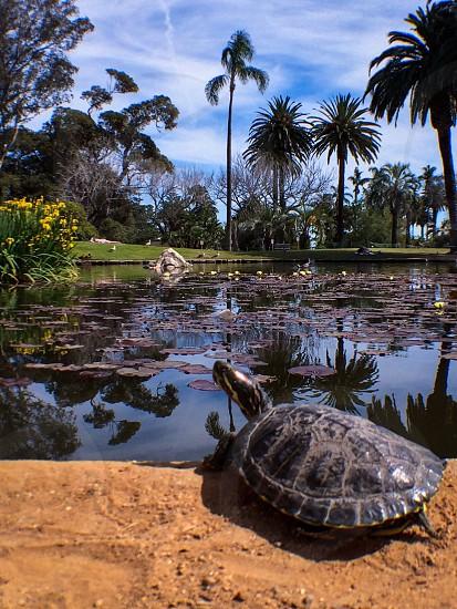 black turtle and pond  photo