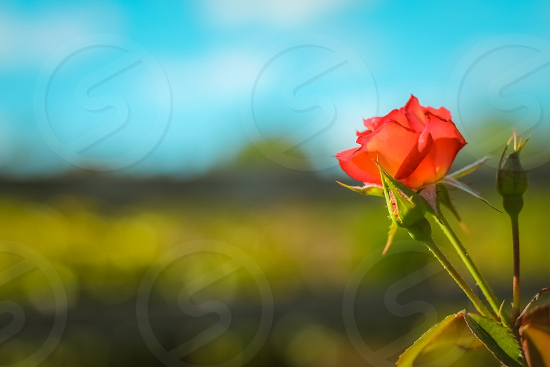 The Rose photo