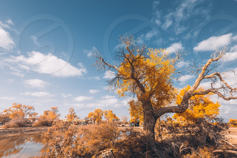 Populus diversifolia Autumn fall Xinjiang west China  photo
