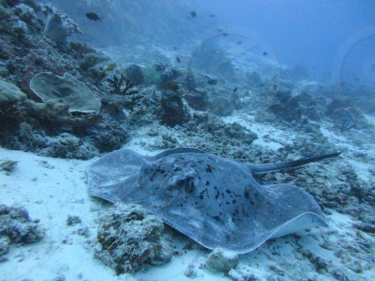 stingray fish marine life diving snorkelling ocean big blue sea water reef coral photo