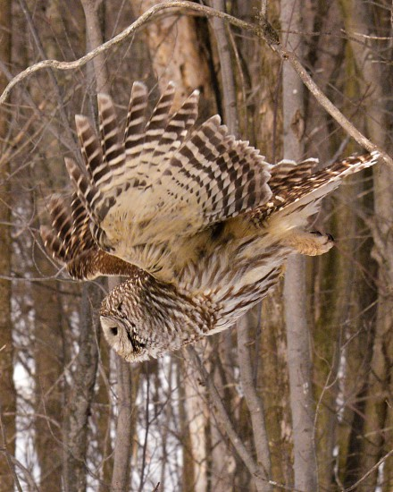 Barred Owl in flight photo