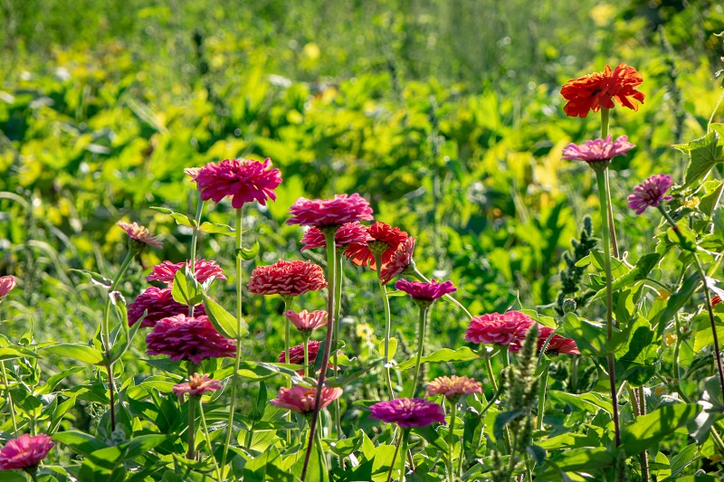 Pink delicate flowers of zinnia in the village garden against the background green on a summer day. Flower layout photo