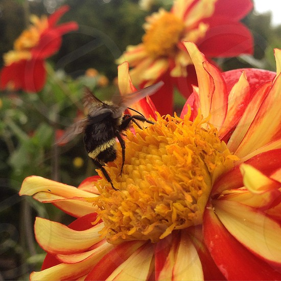 shallow focus photography of bee carpenter harvesting pollen on red and yellow flower photo