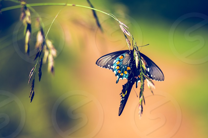 butterfly love butterflies wildlife insect mating making love nature spring angel island san francisco photo