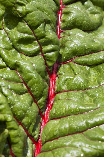 red swiss chard leaf close up photo
