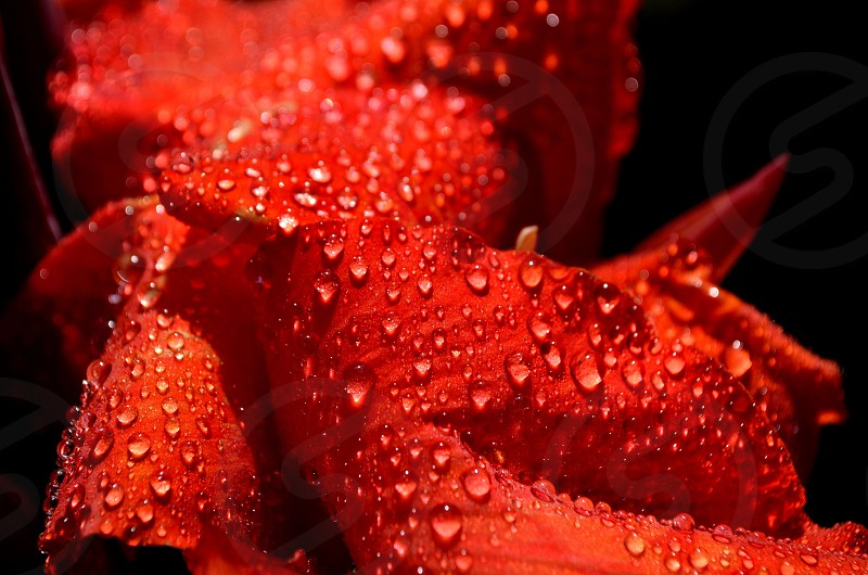 Flower pedal water droplets  photo