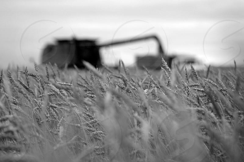 Wheat harvest b&w combine grain photo