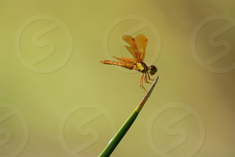 Golden dragonfly. photo
