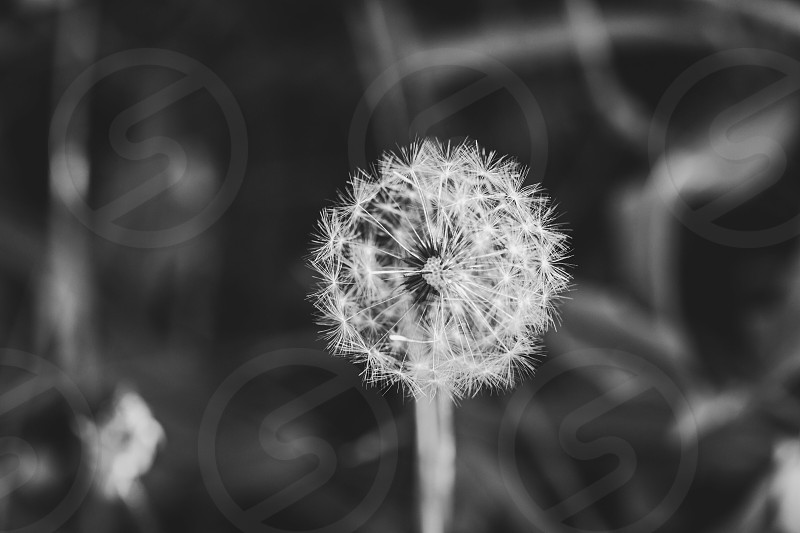 Dandelion plant weed black and white macro nature photo