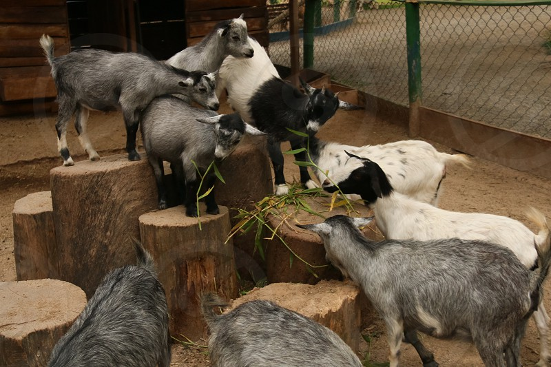 grey and white goats photo