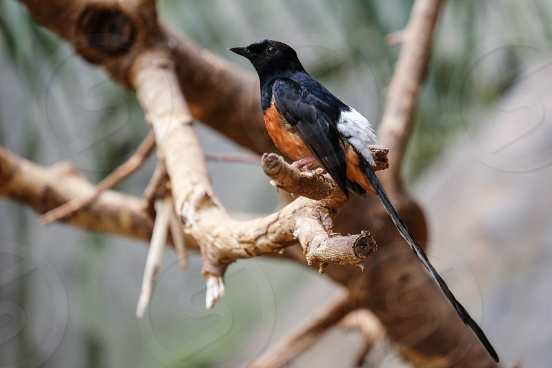 FUENGIROLA ANDALUCIA/SPAIN - JULY 4 : White-rumped Shama (Copsychus malabaricus) at the Bioparc Fuengirola Costa del Sol Spain on July 4 2017 photo