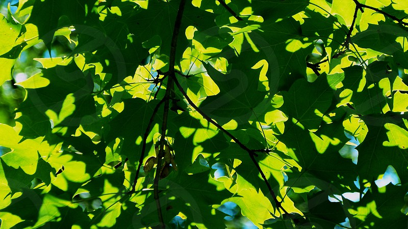 Sunlit leaves photo