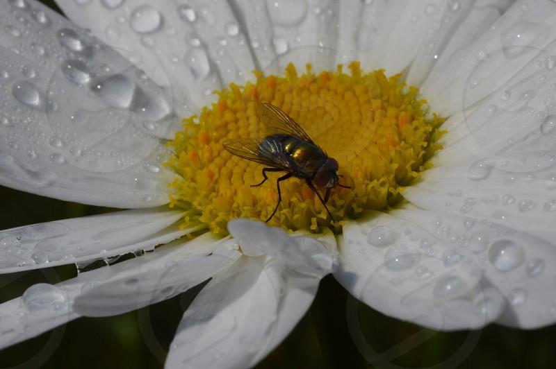 fly on wet daisy photo
