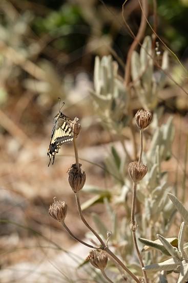 Swallowtail Butterfly at Mount Calamorro near Benalmadena Spain photo